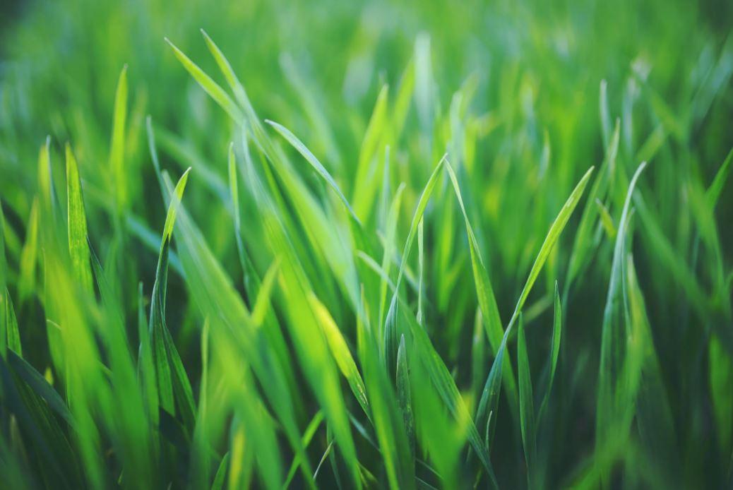 Hochwertiger Rasen dank guter Rasensaat